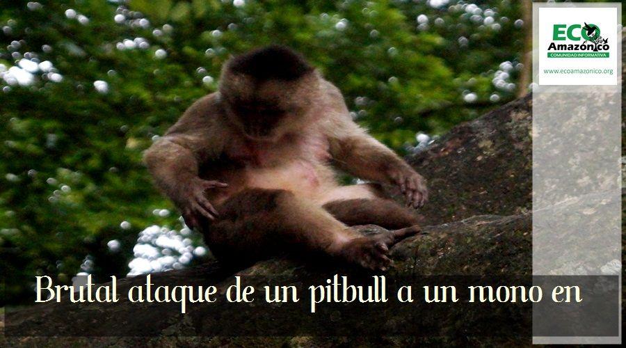 Ataque de pitbull a monos capuchinos en Puerto Misahualli
