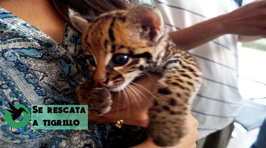 Rescate de Tigrillo en Puyo