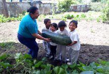 Cosecha de pepinos gigantes en Puyo
