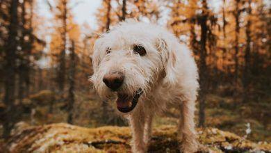 Arthur, el perro aventurero ecuatoriano, sufre un problema de salud